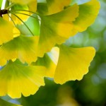 ginkgo_leaves_yellow-150x150